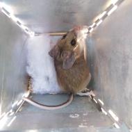 pinon mouse