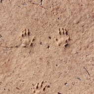 small mammal trackway