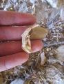 Thomomys dentary, Beef Basin, San Juan County, UT